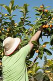 Loquat picker