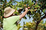 Loquat picker