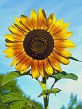 Yellow Sunflower closeup against a blue cloudless sky.