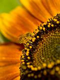 Honeybee Covered in Pollen in a Sunflower