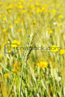 Spike in yellow field.