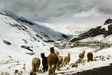 Llamas in snowy mountains