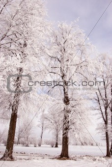 Richly frosted old lindens.