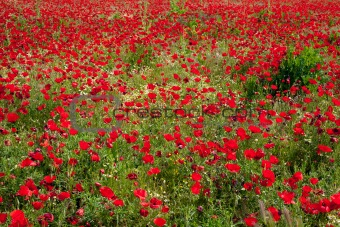 God is a painter and he loves red... Poppies field  (horizontal