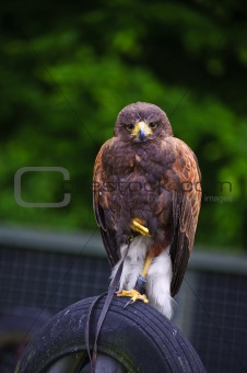 Harris hawk bird of prey during falconry display