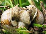 Helix pomatia mating