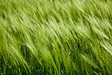 green wheat and windy weathe