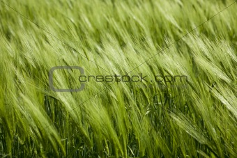 green wheat and windy weathe