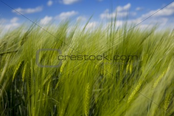 green wheat field and blue cloudy sky / summer / selective focus