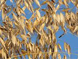 Oats against a cloudless blue sky