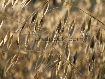 A sprig of golden oats on the field