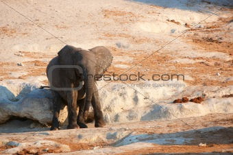 Small African elephant calf
