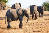 Large herd of African elephants