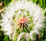 Dandelion