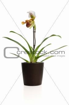 Beautiful orchid (Paphiopedilum Maudiae)