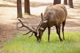 Beautiful Elk with New Antlers Eating Among the Pine Trees.
