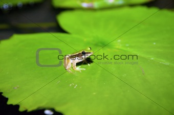 grren frog on lilypad