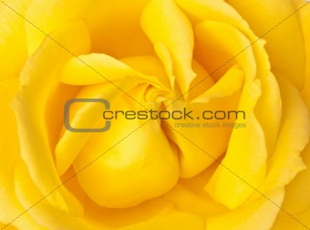 Single yellow rose close up