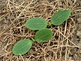 marrow seedlings