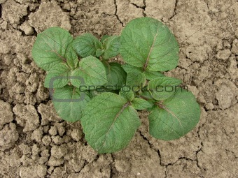 young potato plant