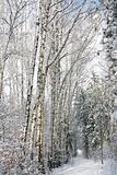 Snowy alley in the birch forest