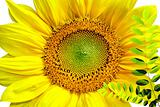 Sunflower isolated in white background