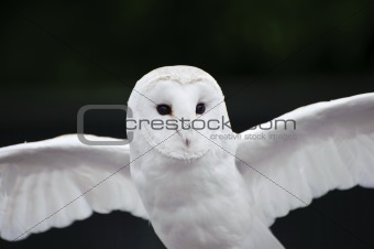 Barn owl bird of prey in falconry display