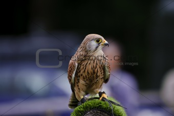 Male kestrel bird of prey raptor during falconry display