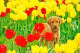 puppy Labrador