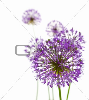 Beautiful Allium / abstract  on white