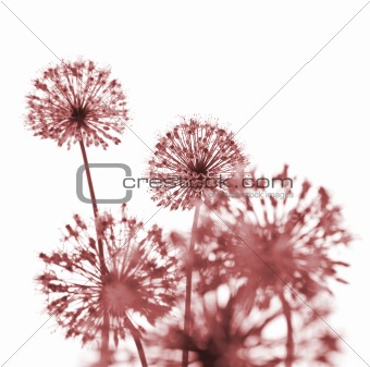 Beautiful Red Flowers / abstract  on white