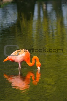 Flamingo and reflection