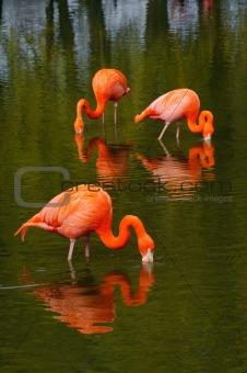 Flamingo's feeding