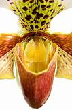 Close up of orchid (Paphiopedilum Maudiae) 