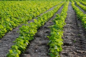 Green beans field