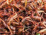 Crispy fried bombay locust