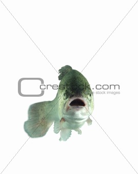 alive trout
