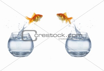 gold jumping out from aquarium fish