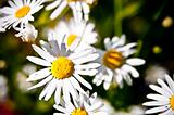 white and yellow daisy