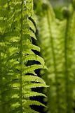 Green fern leaves in the sun