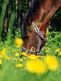 grazing  bay horse in green meadow