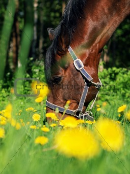grazing  bay horse in green meadow