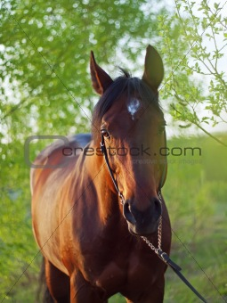 bay horse in spring forest