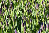 closeup of unopened blue iris flowerbed with sunshine