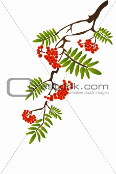 Berries of red Viburnum with leaves