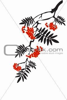 Berries of red Viburnum with leaves