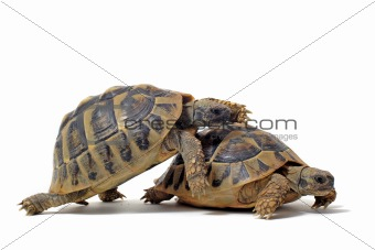 Tortoises having sex