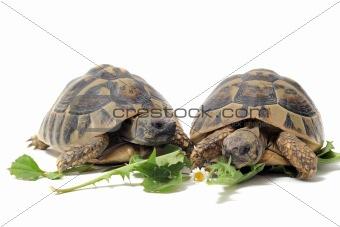 Tortoises eating