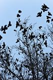 Crows flying and sitting on tree