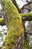 Bright Green Moss (antherocerophytes) on tree trunks